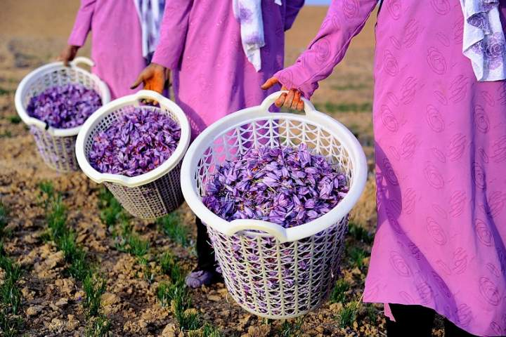 Afghan Gov't to Distribute 240,000 Tons of Saffron This Year
